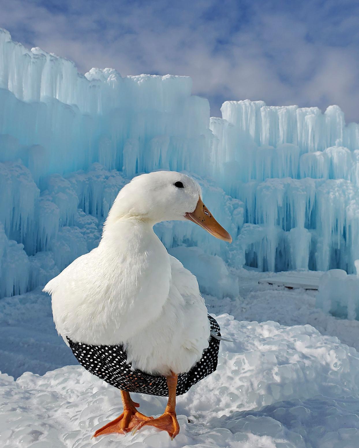 minnesota duck