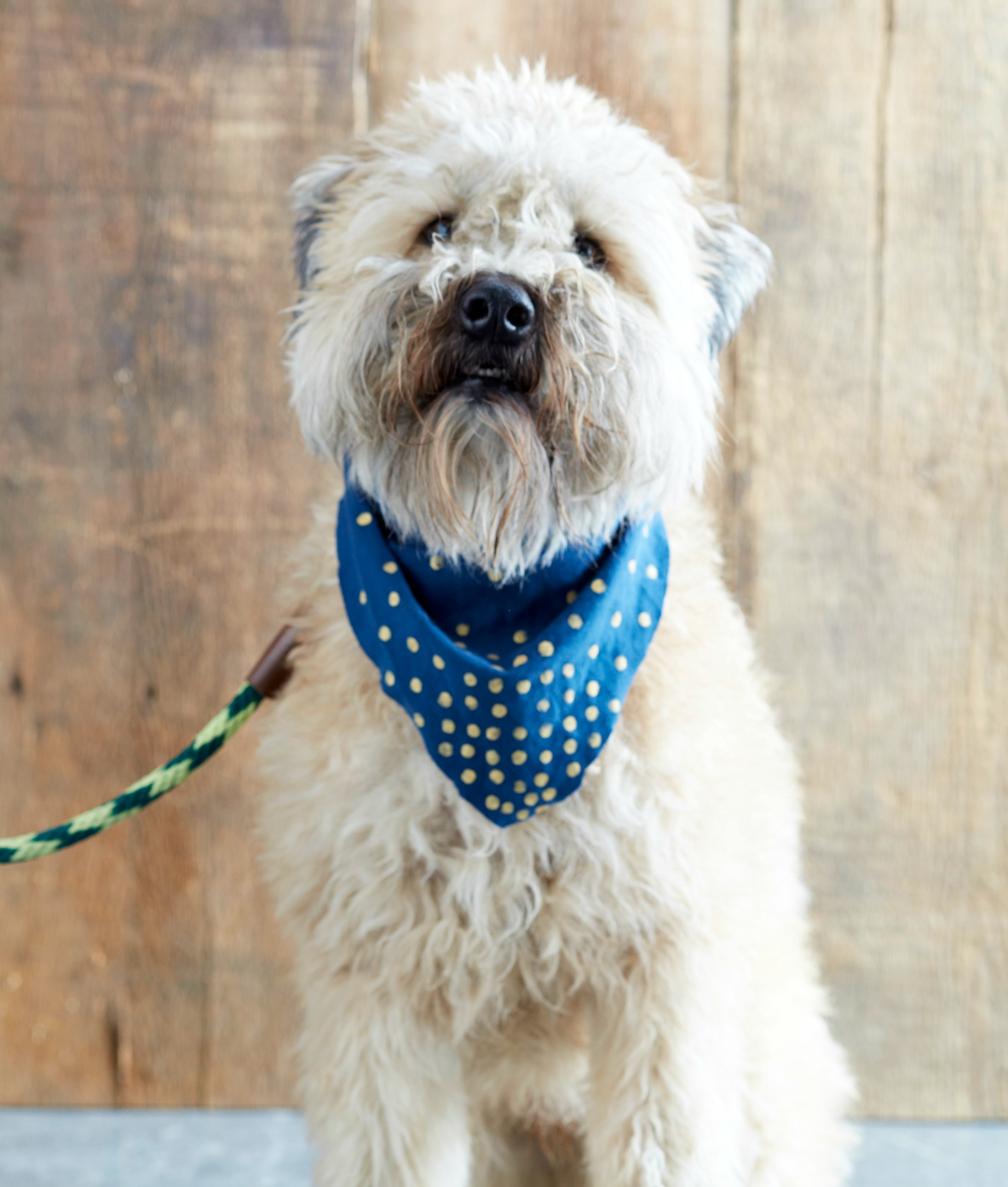 dog with scraf.jpg
