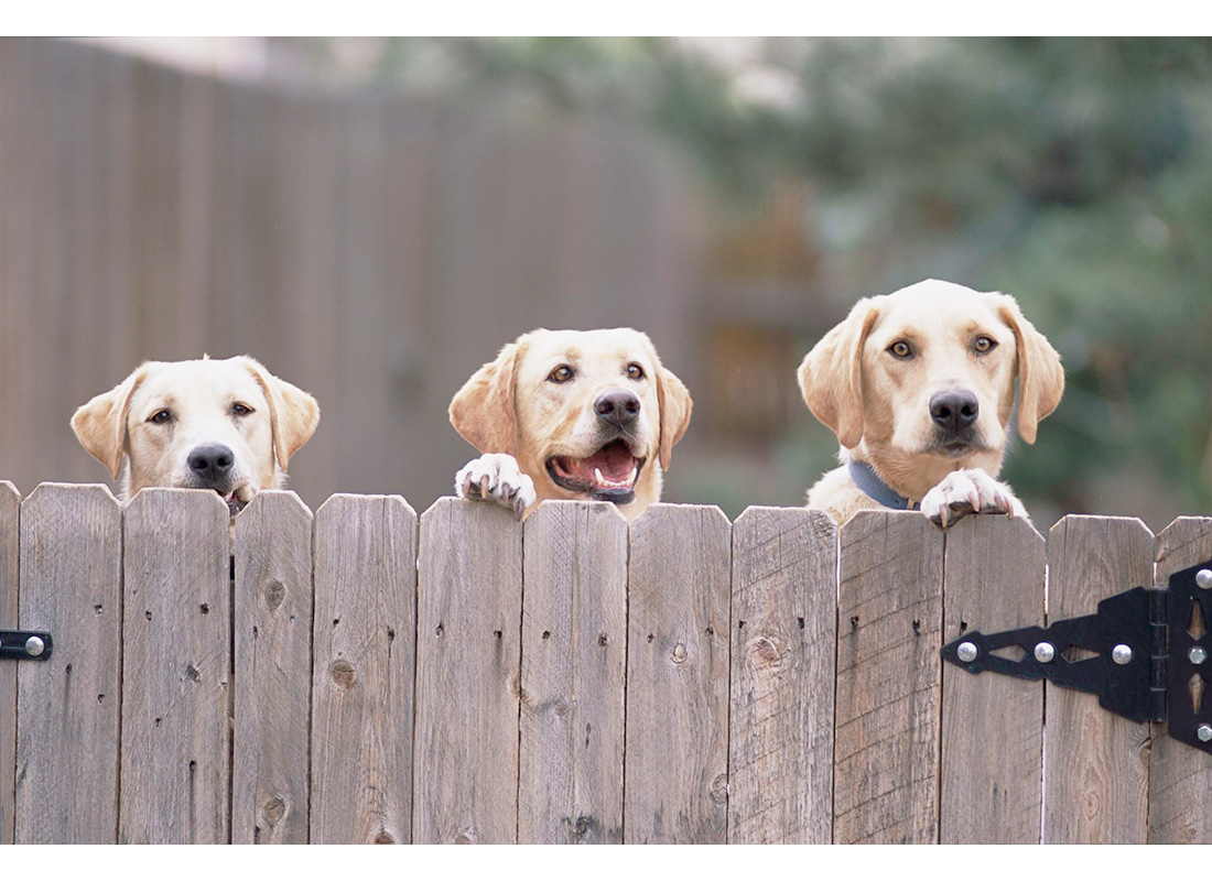 three dogs peering over fence