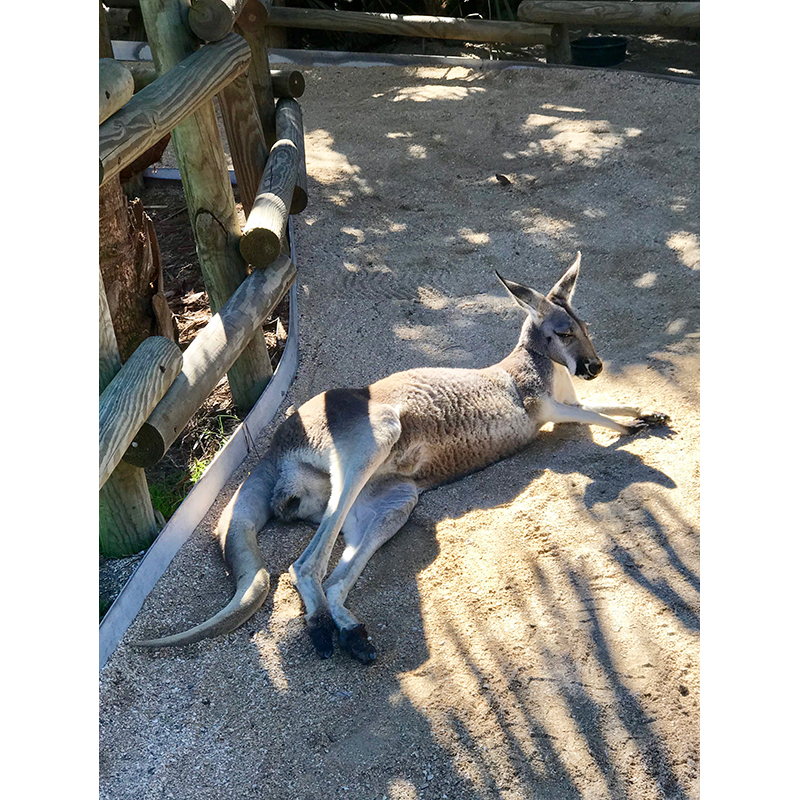 Kangaroo lounging at Brevard Zoo