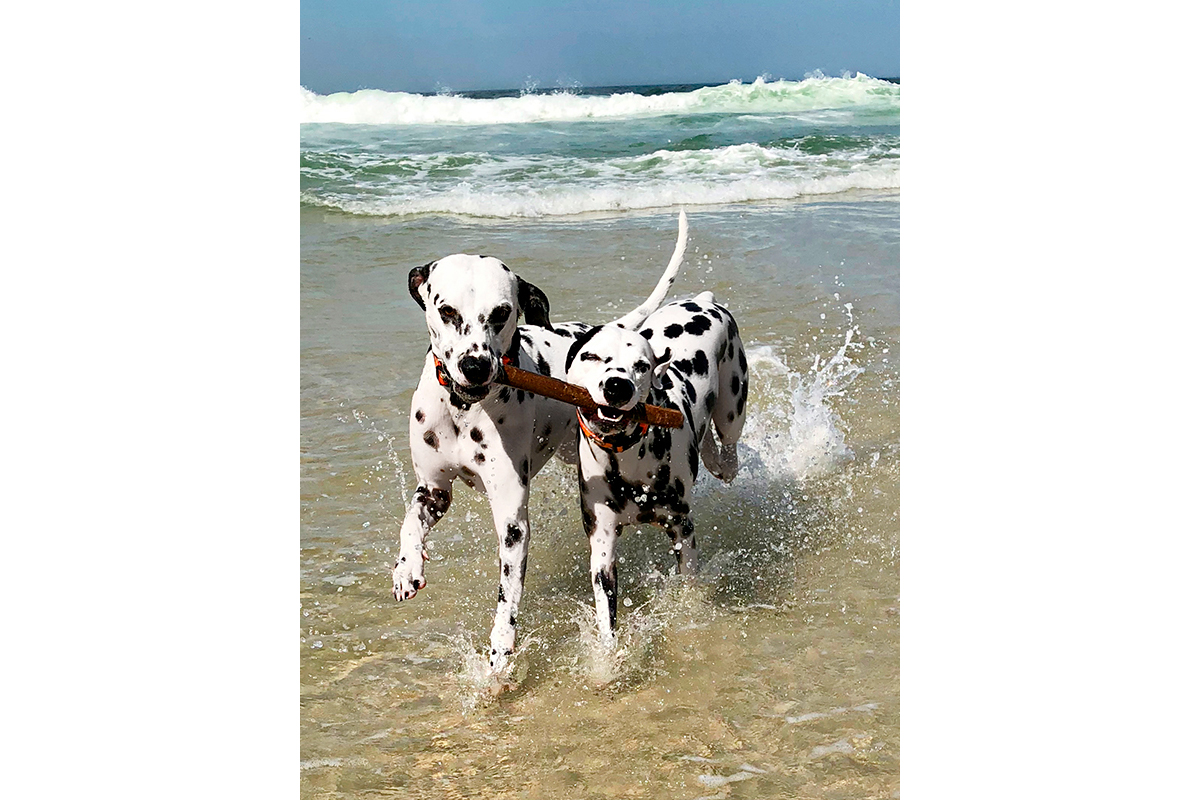 active Dalmatian dogs having fun on beach