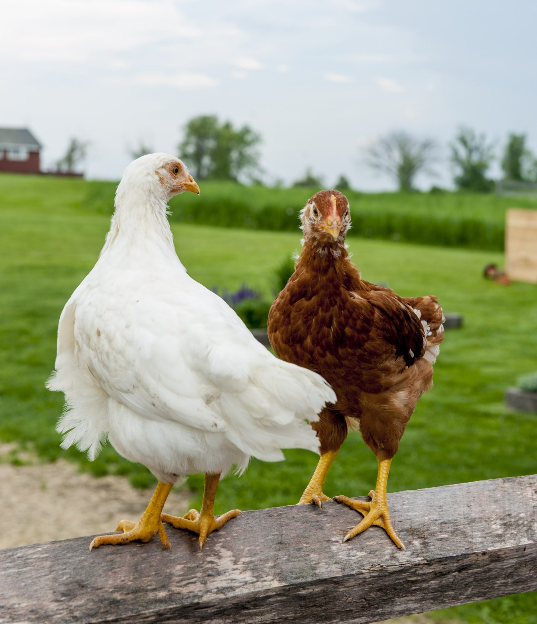 Brown and white chicken