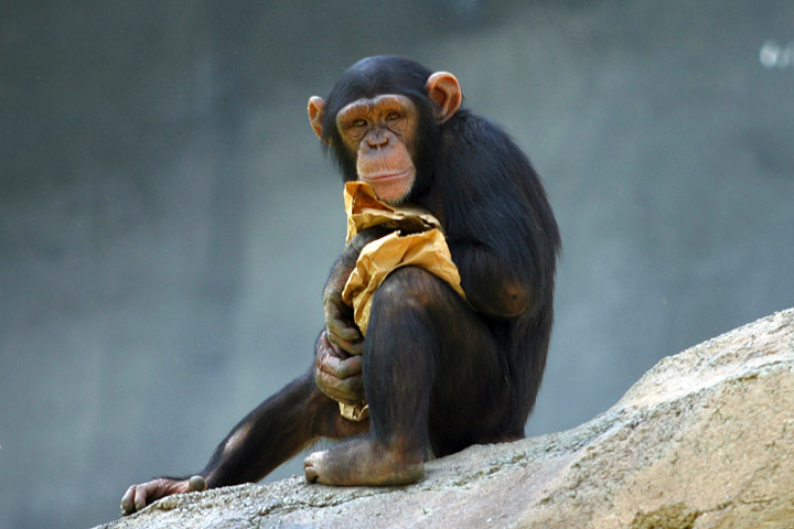 Chimp-with-sack-lunch.jpg