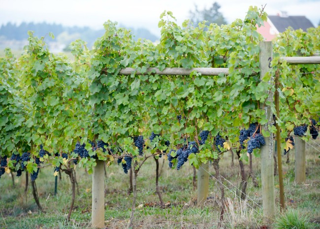 Pinot Noir Grapes in Yamhill Oregon