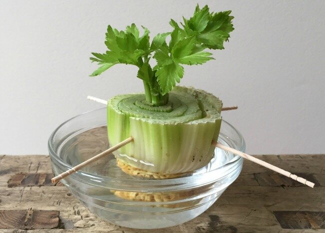 How to Regrow Celery from Scraps | Allrecipes