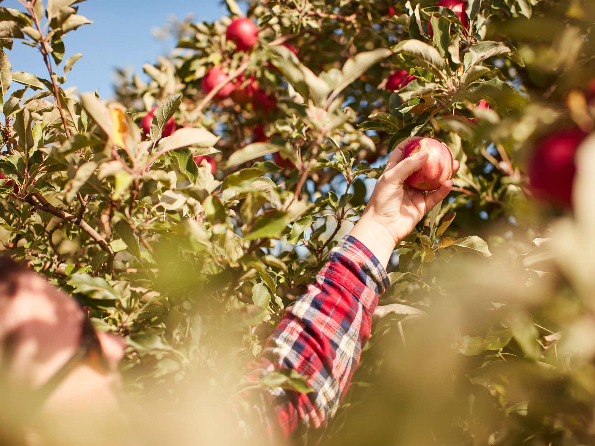 Woman reaching for apple in orchard