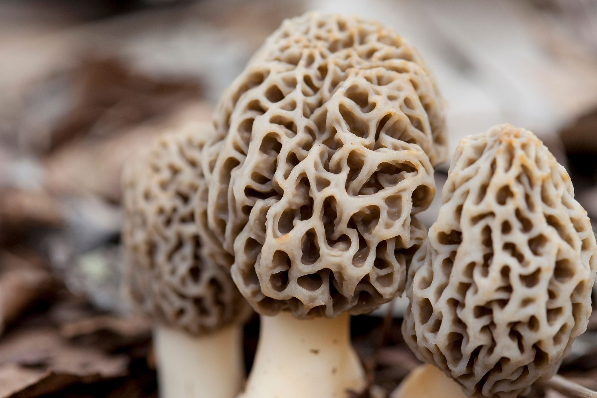 Morel mushrooms close-up shot