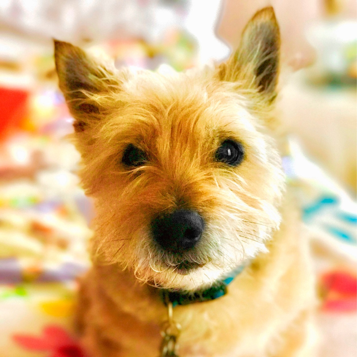 Max the cairn terrier dog