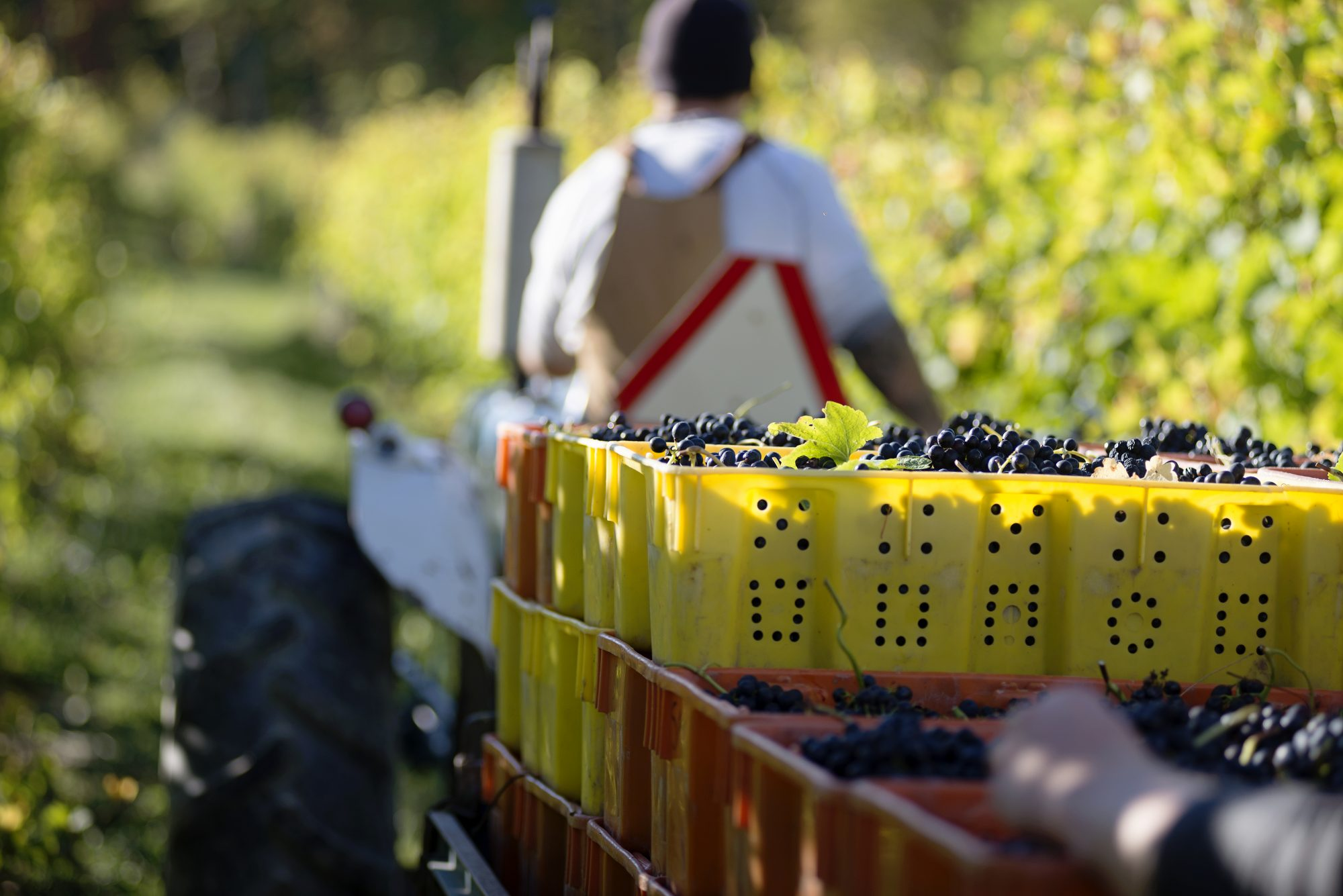 Harvest in New York State's Finger Lakes Wine Country