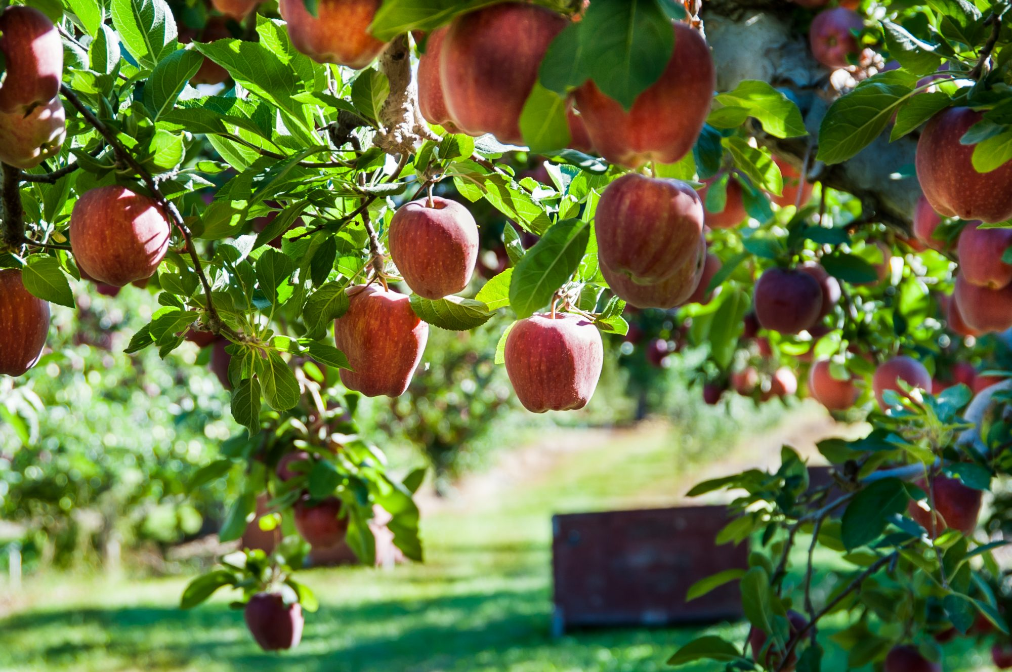 Washington Red Delicious apples on a tree