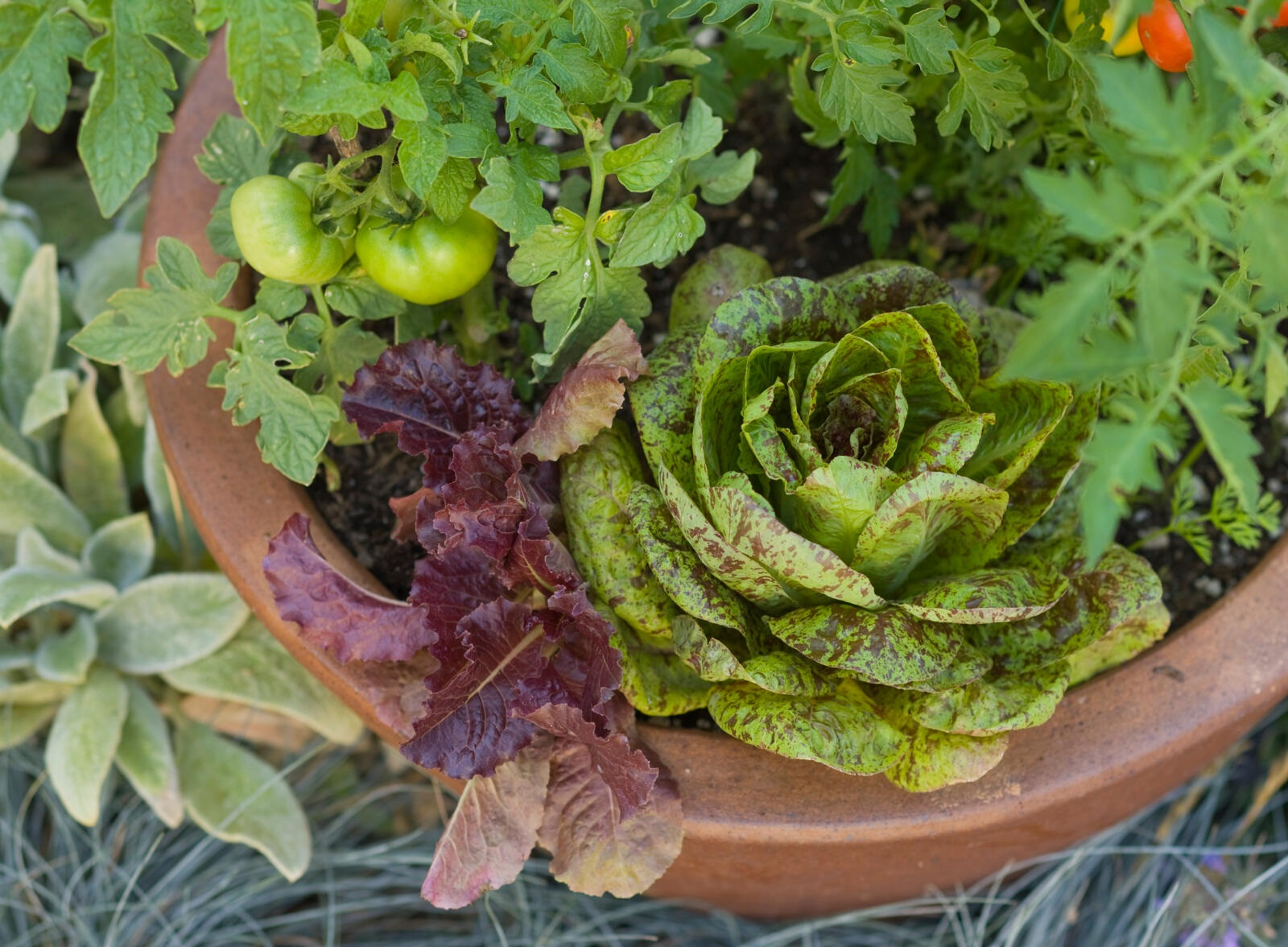 lettuce, tomatoes, and herbs growing in terra cotta pot container garden