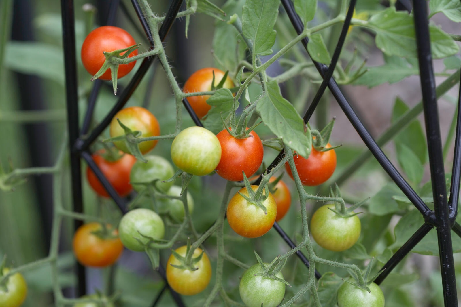 close up of ripening cherry tomatoes growing on supports