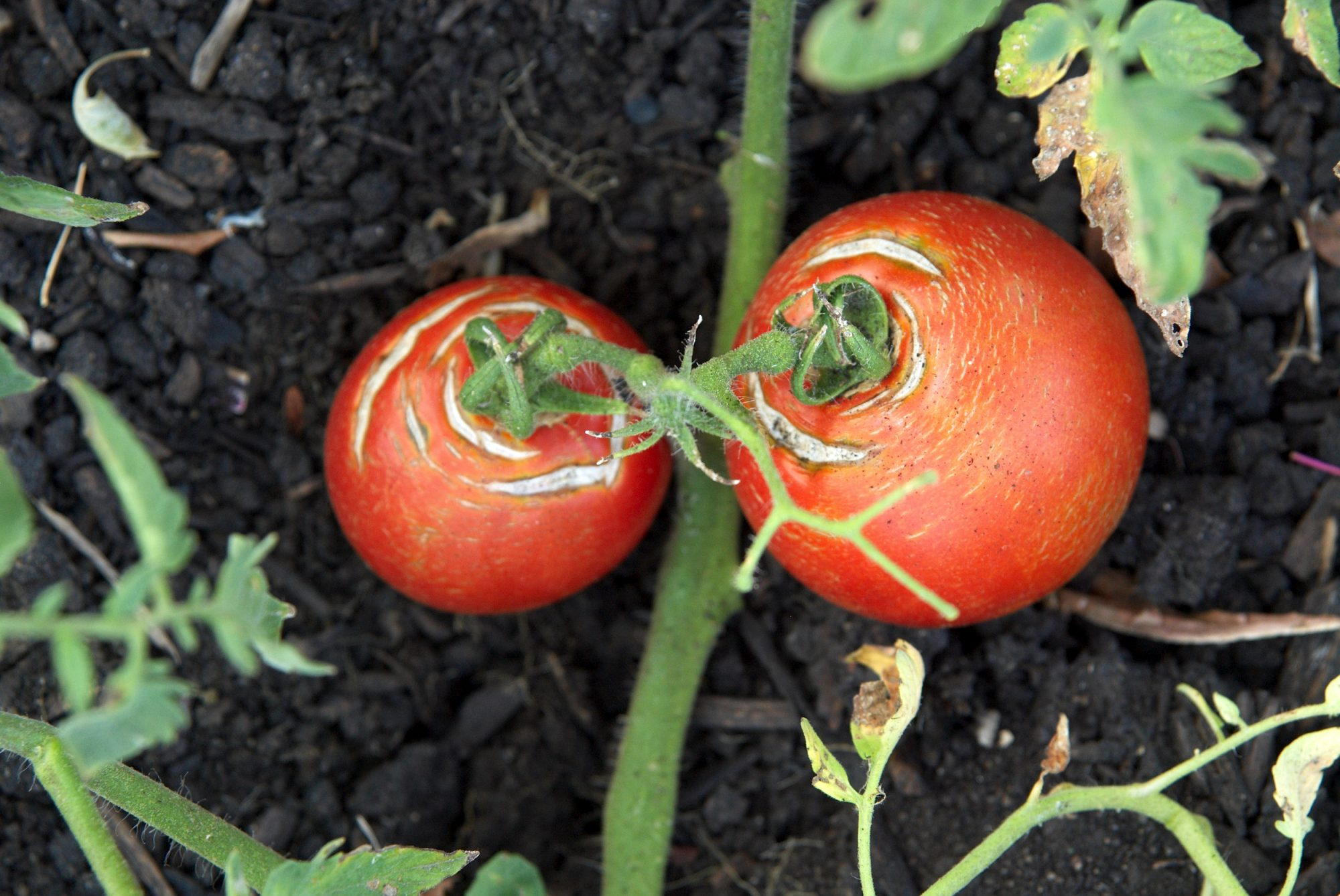 two red tomatoes on the vine with cracked skin