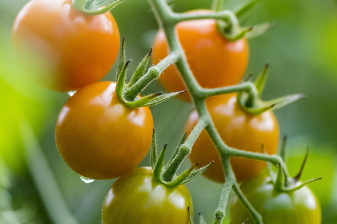 red and green tomatoes growing on the vine