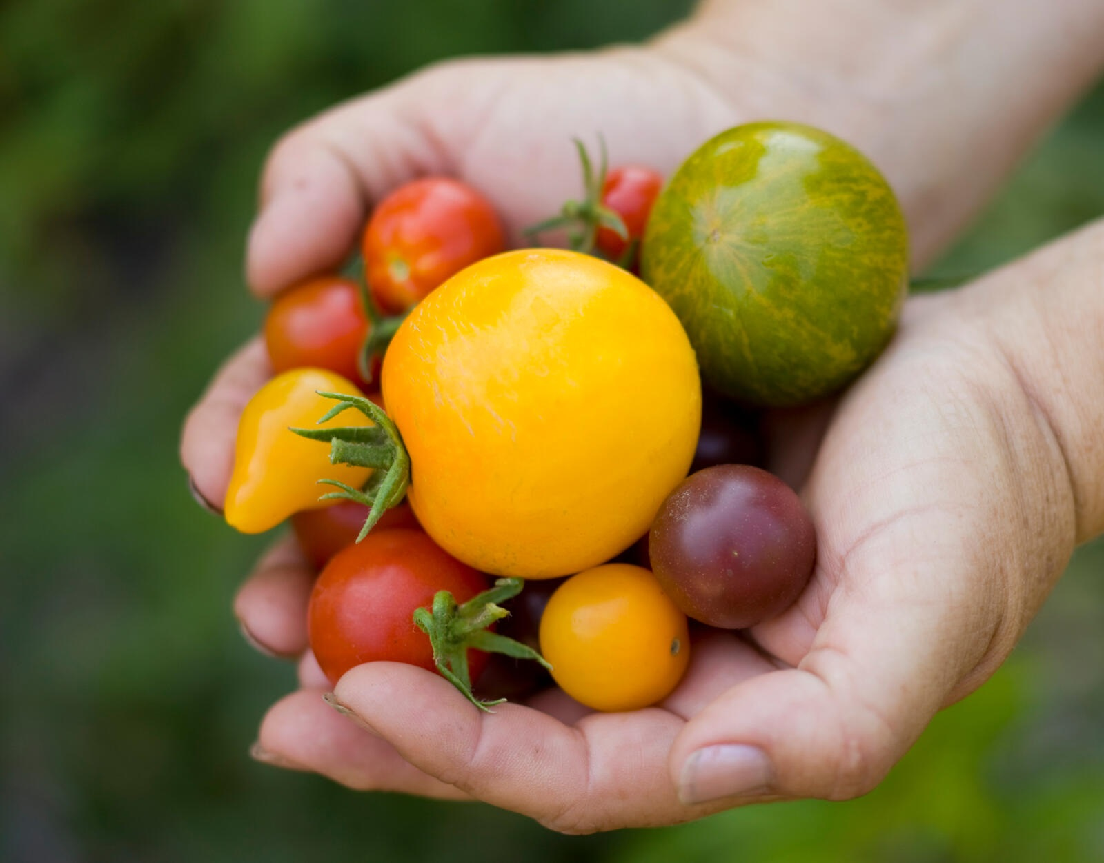 woman's hands holding freshly picked cherry tomatoes of varying colors