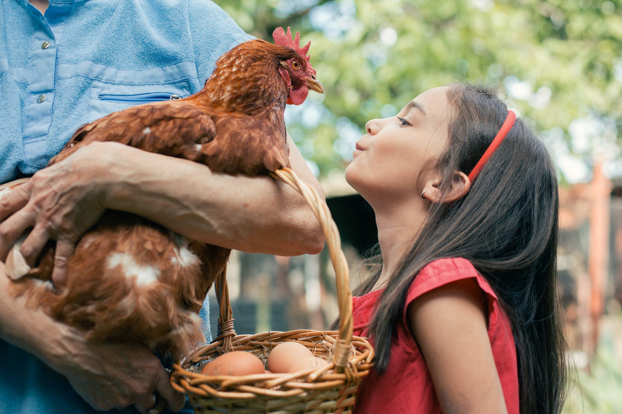 young girl leans forward to kiss a chicken another person is holding