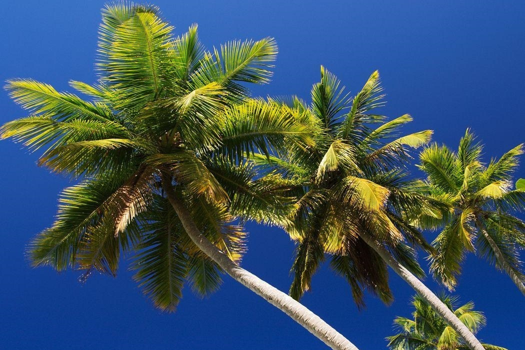 looking up at palm trees on a sunny day against a blue sky