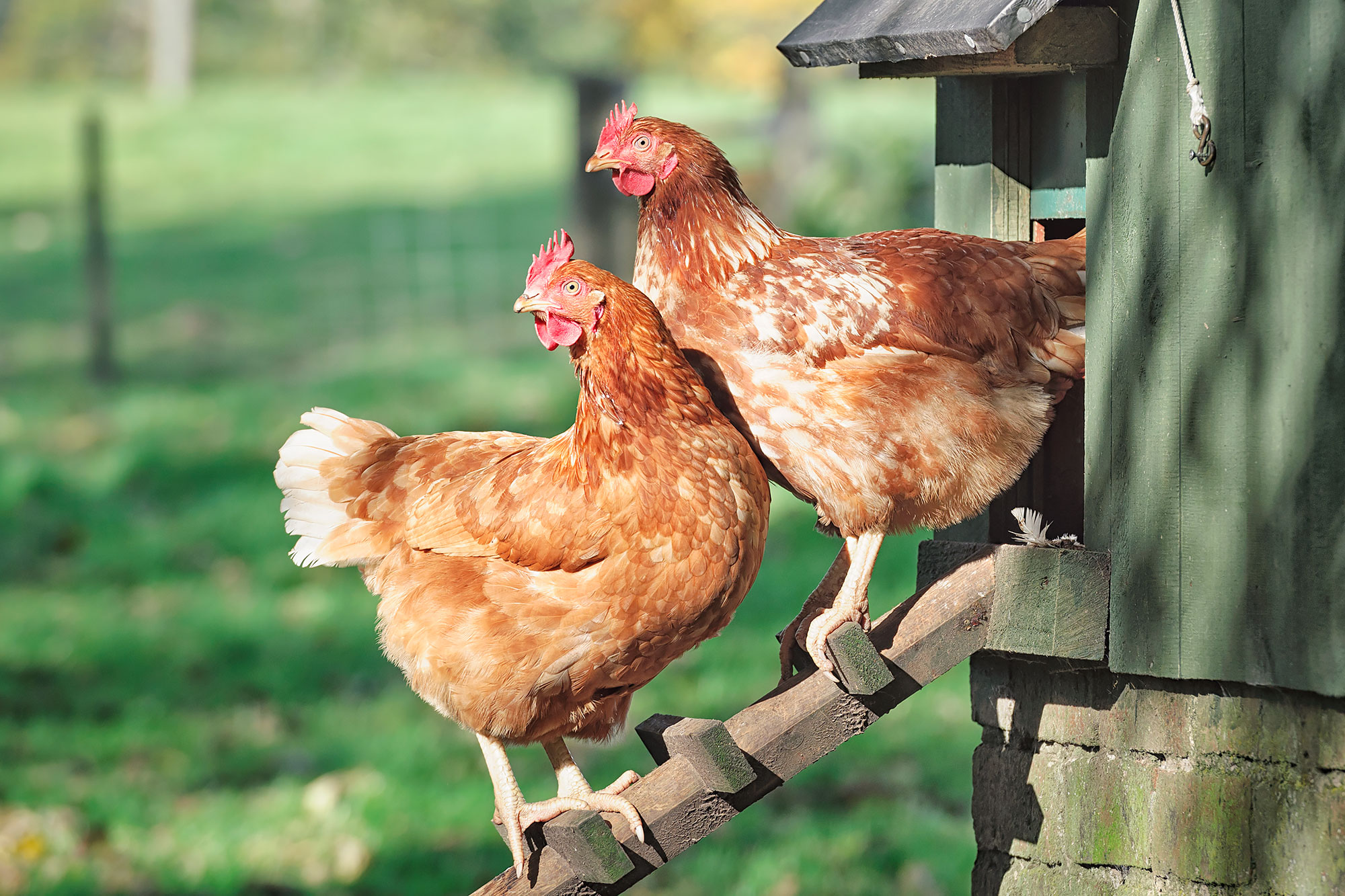 pandemic chickens