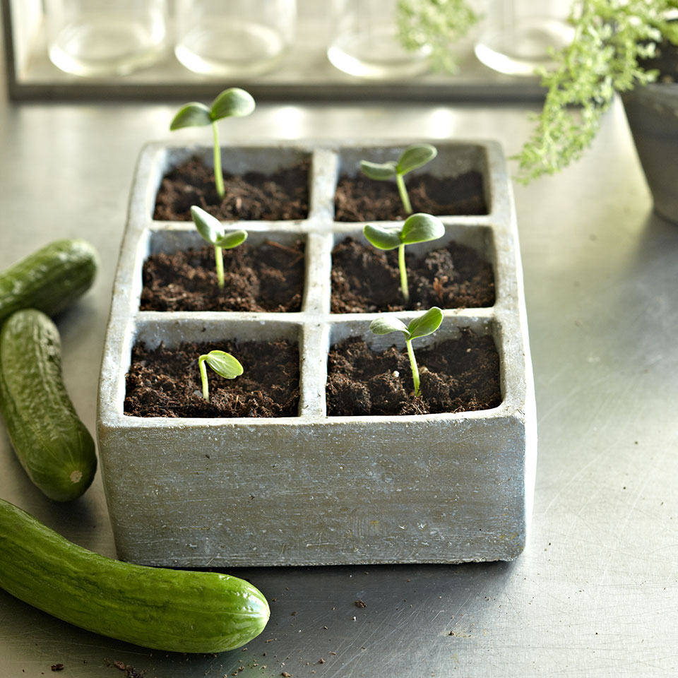 cucumbers and seedlings
