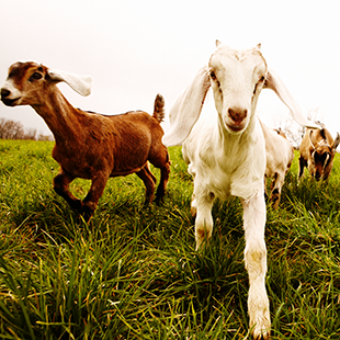 09032015_SO15_goats.png