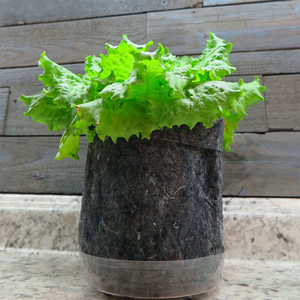 Growing lettuce indoors