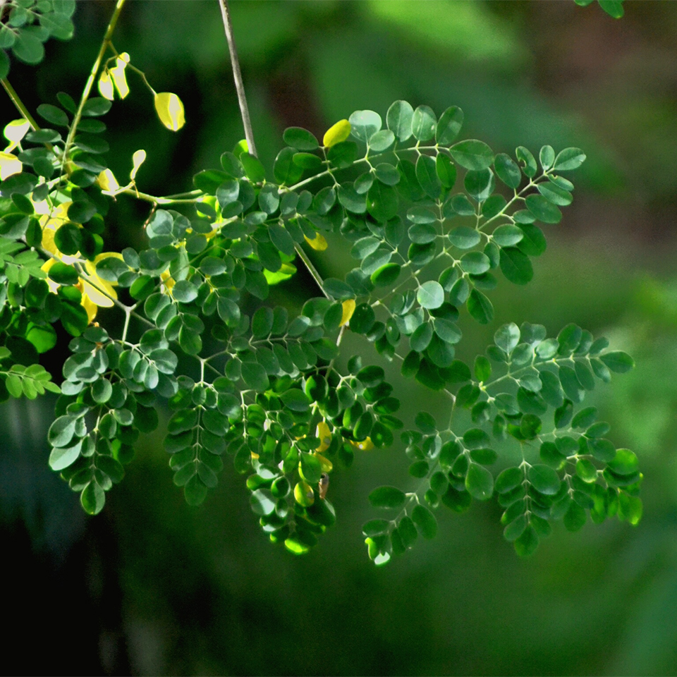 moringa tree branch