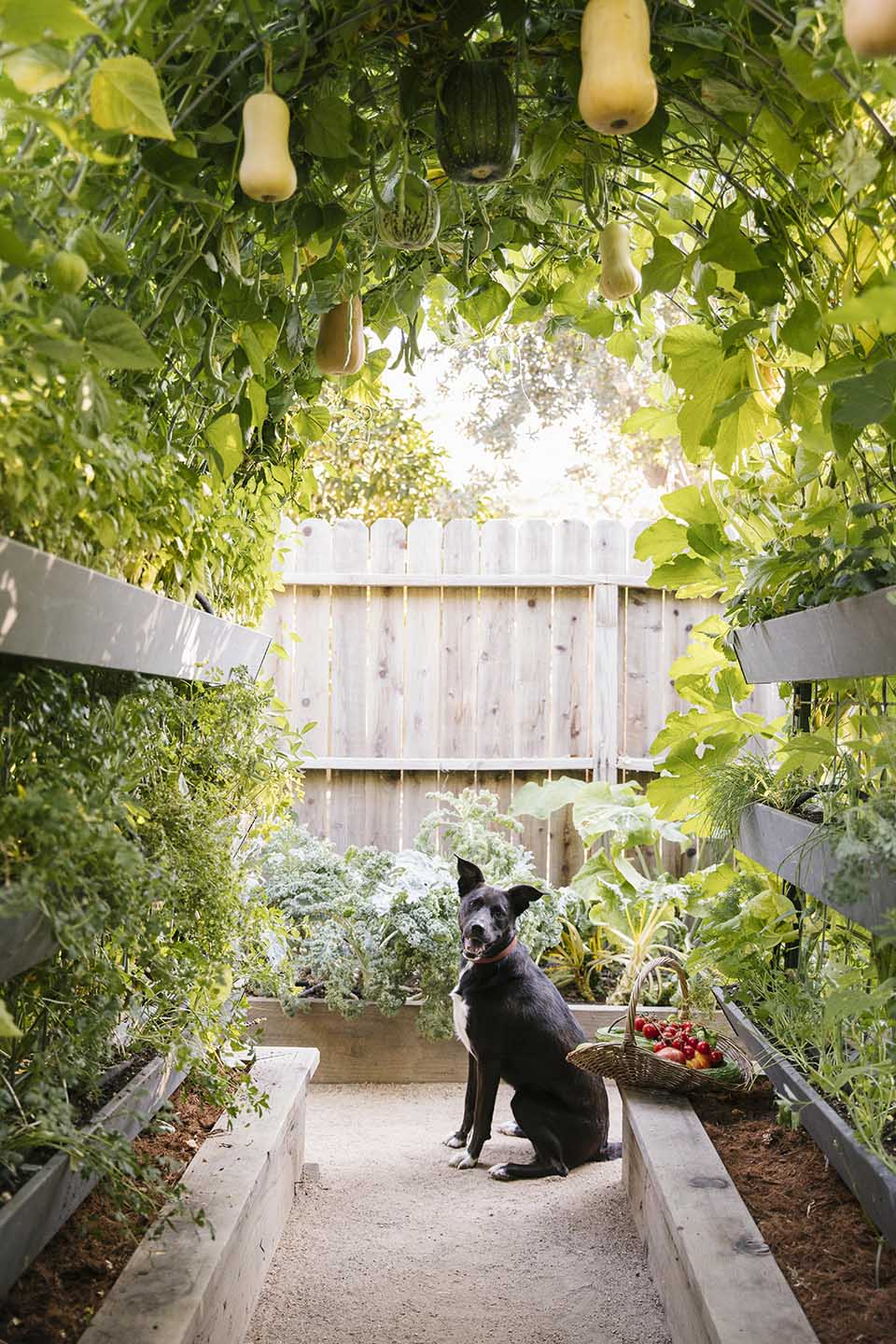 black and white dog sits underneath a butternut squash trellis