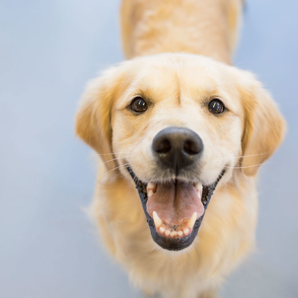 cute smiling yellow Labrador Retriever