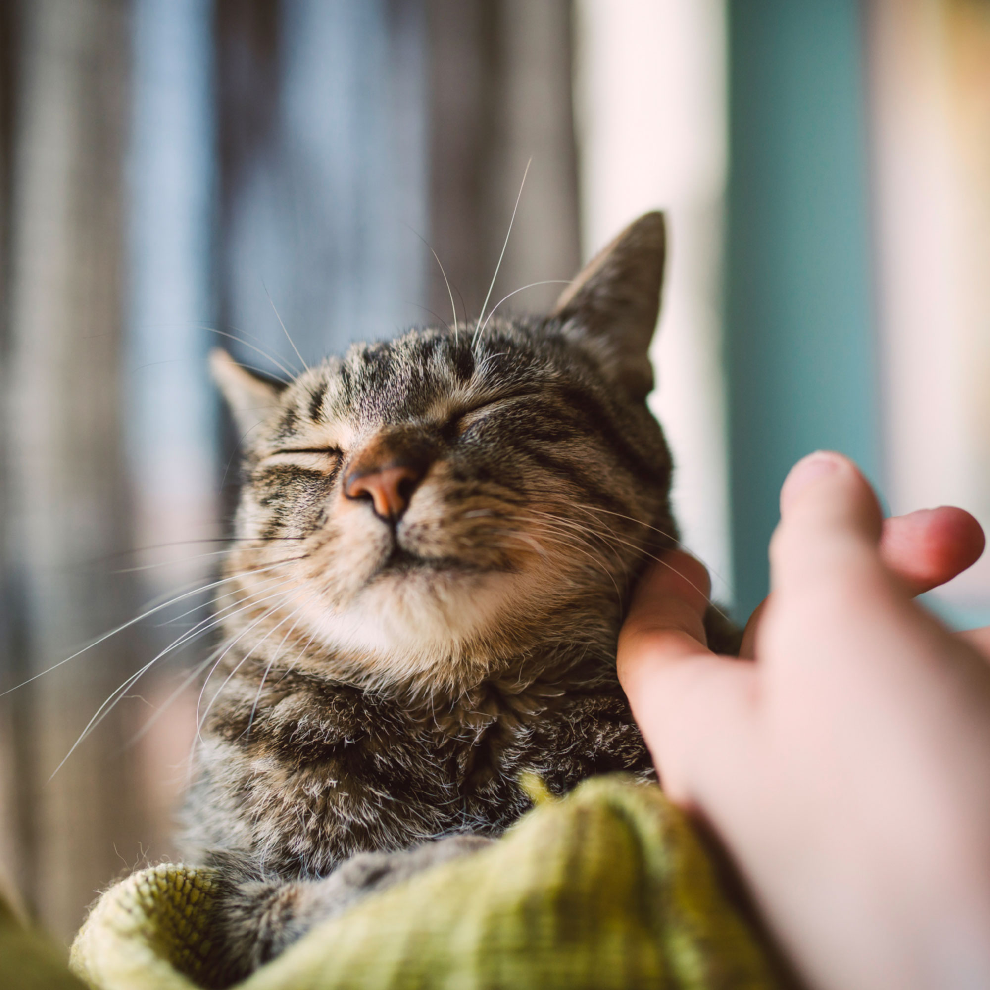 cat being pet and (obviously) purring with eyes closed