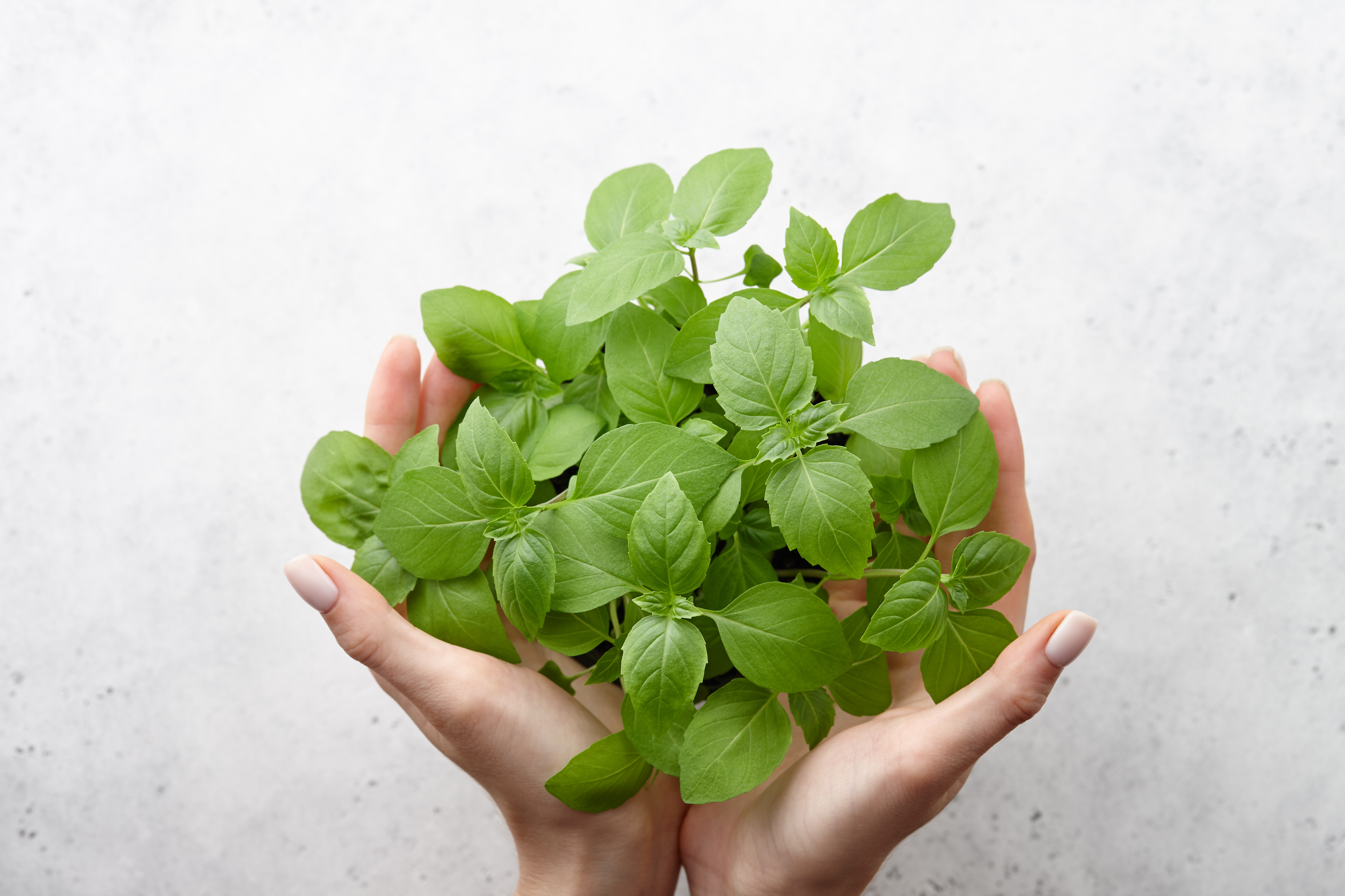 Woman's hands holding fresh green basil leaves on white stone background. Close up view.