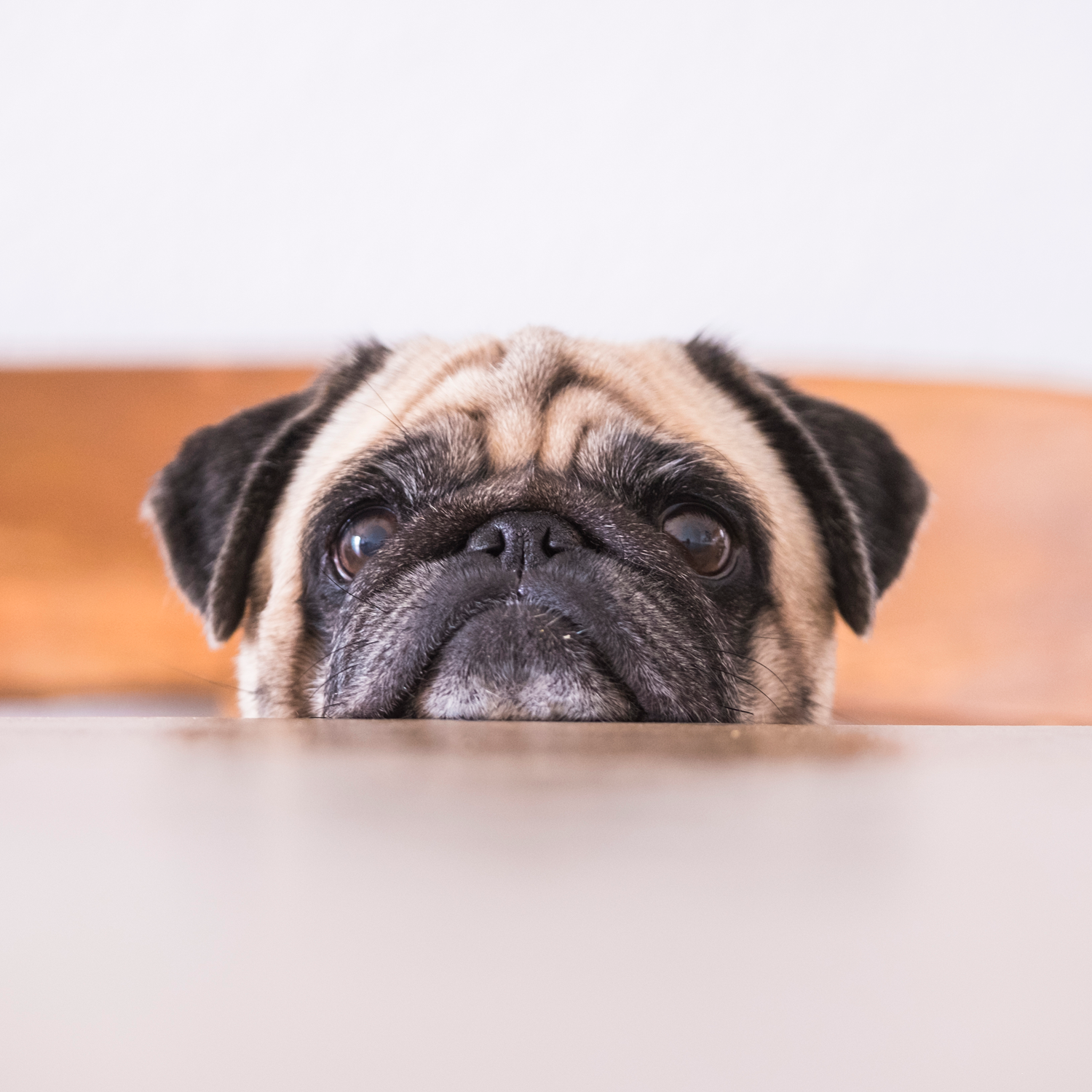 Dog resting chin on table