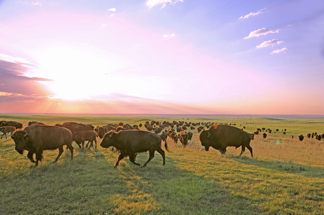 Buffalo in a field with a sunrise sky