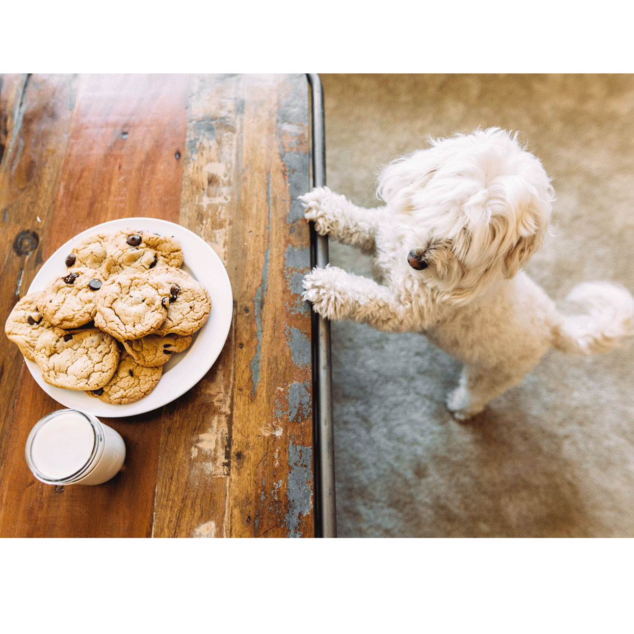 cute dog begging for chocolate chip cookies