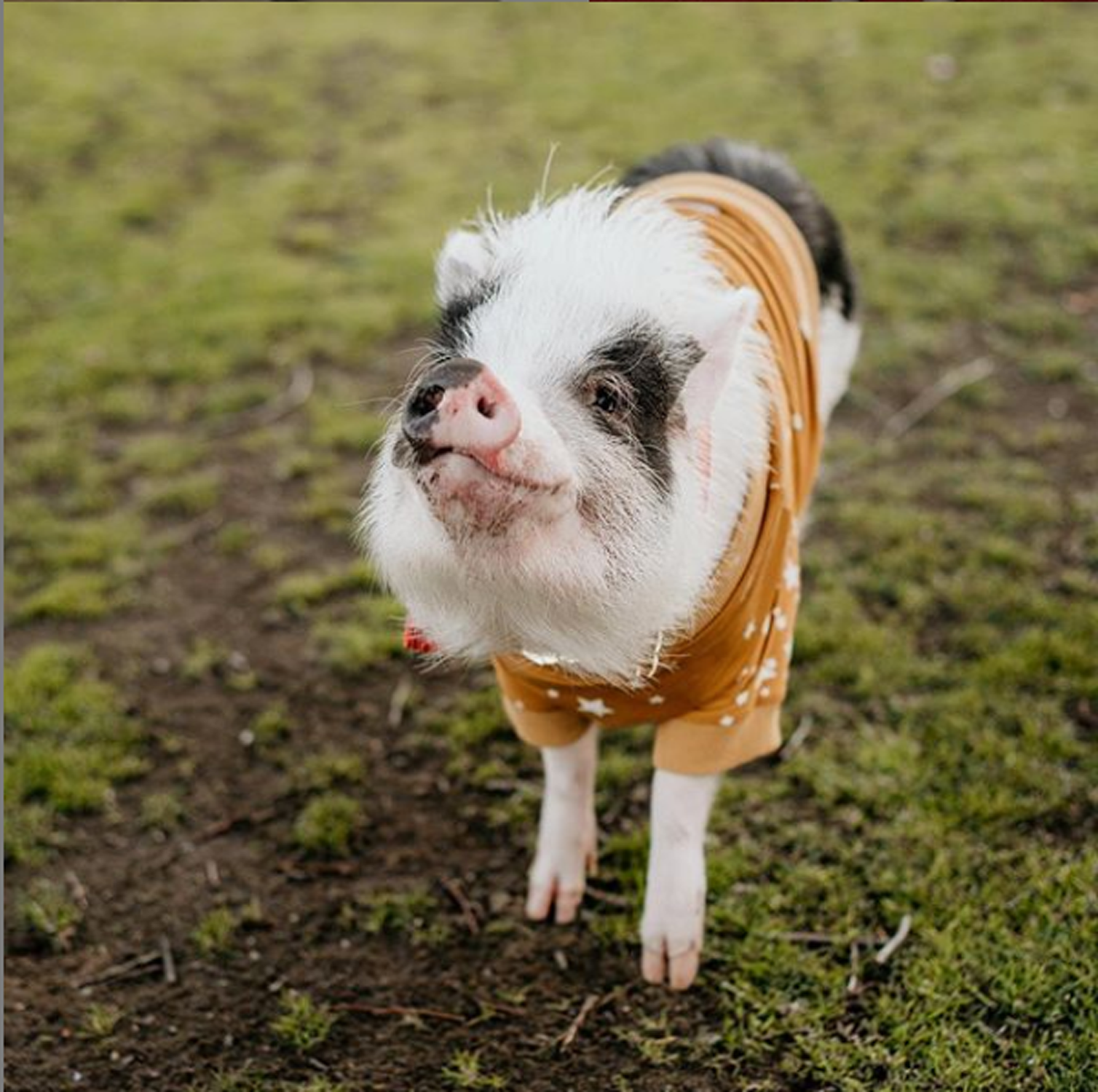 Pickles the Pig
