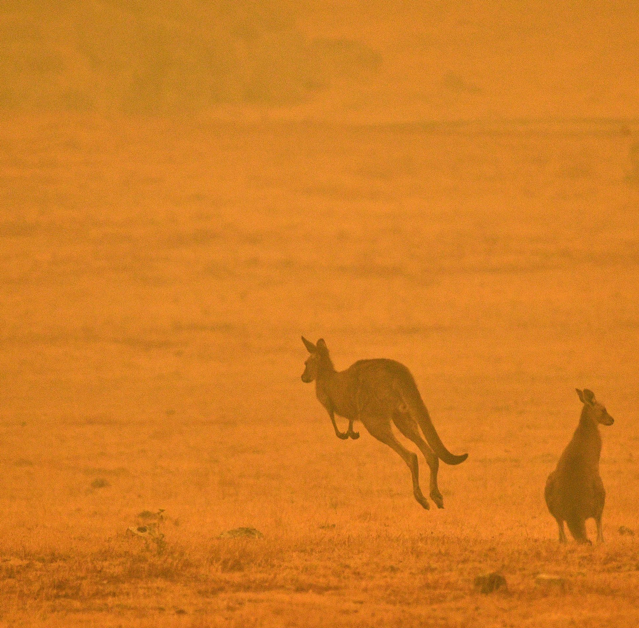 Kangaroo jumping in an orange landscape