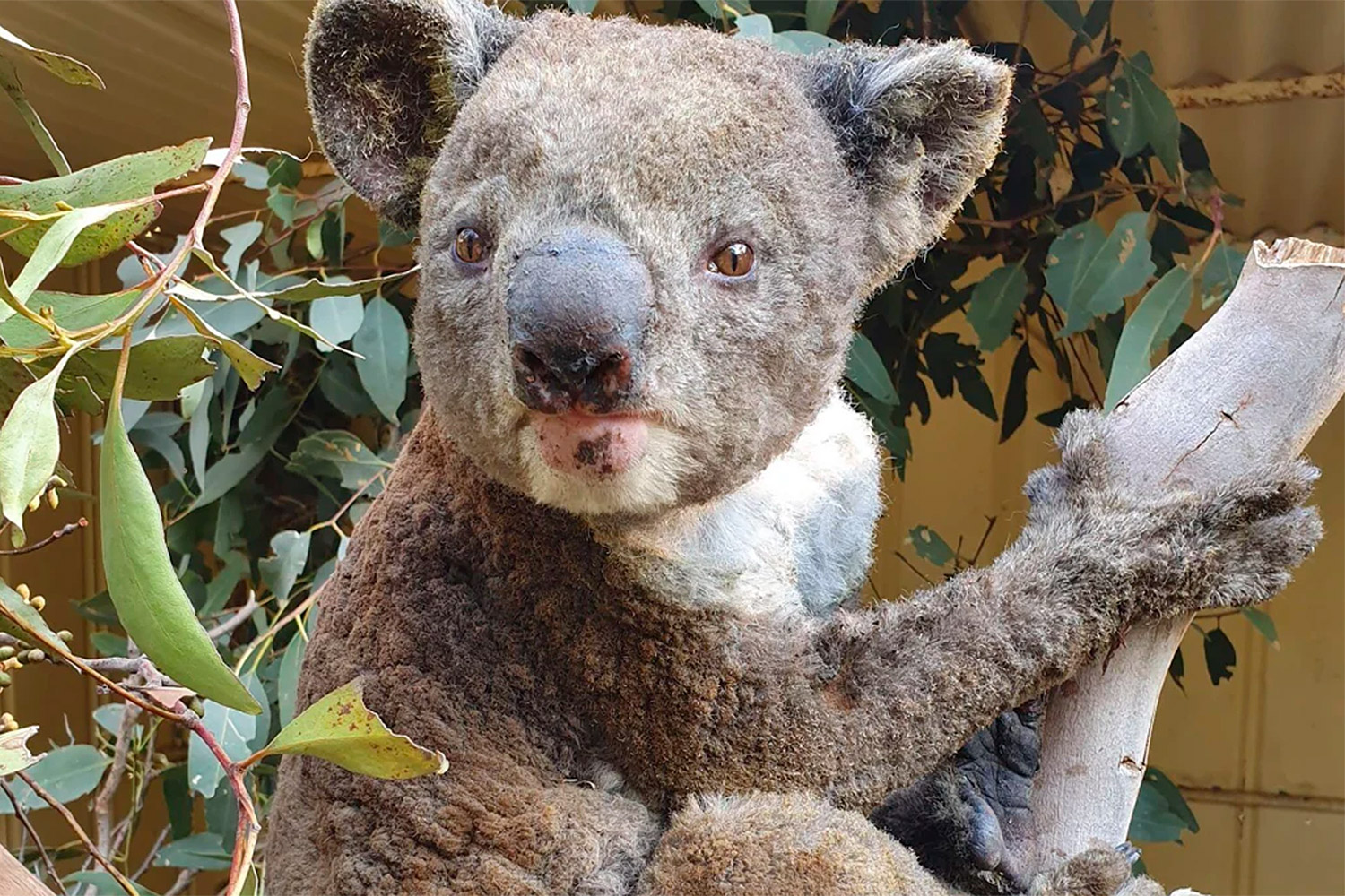 6-Year-Old Boy's Clay Koalas Have Raised Over $51K for Australian Fire Relief