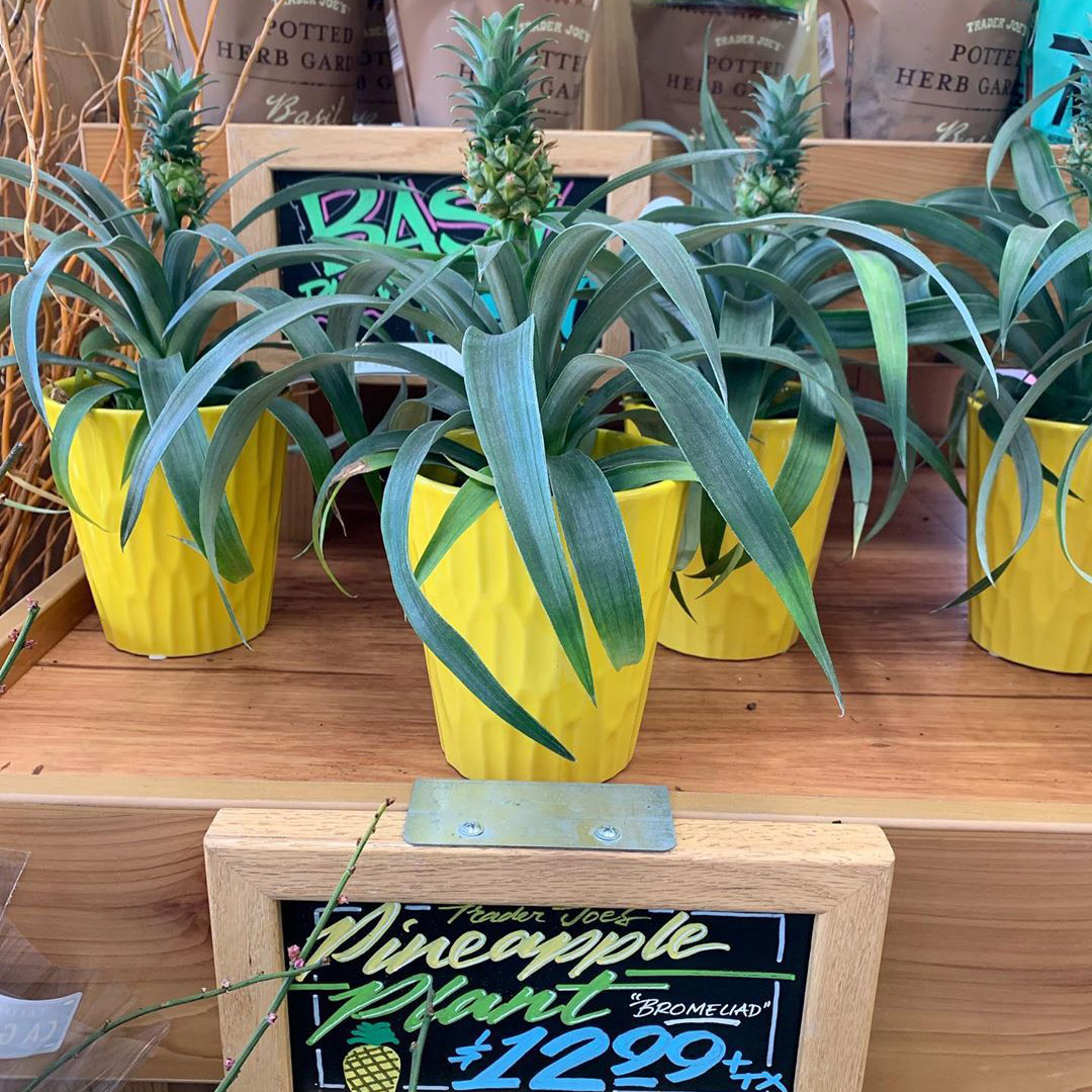 Trader Joe's Is Selling an Adorable Pineapple Plant for $13