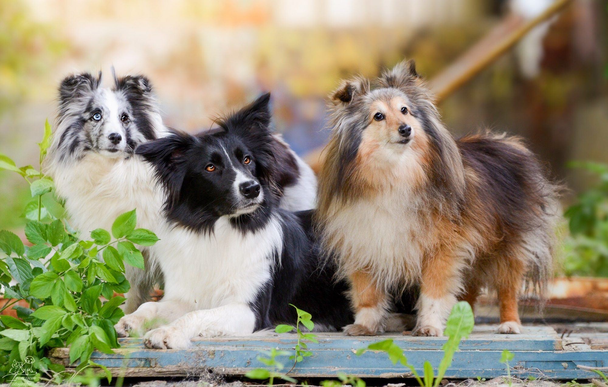 Three dogs in backyard at attention