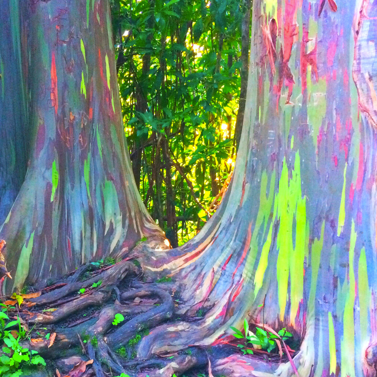 Rainbow Eucalyptus Trees Look Too Beautiful to Be Real (But They Are!)