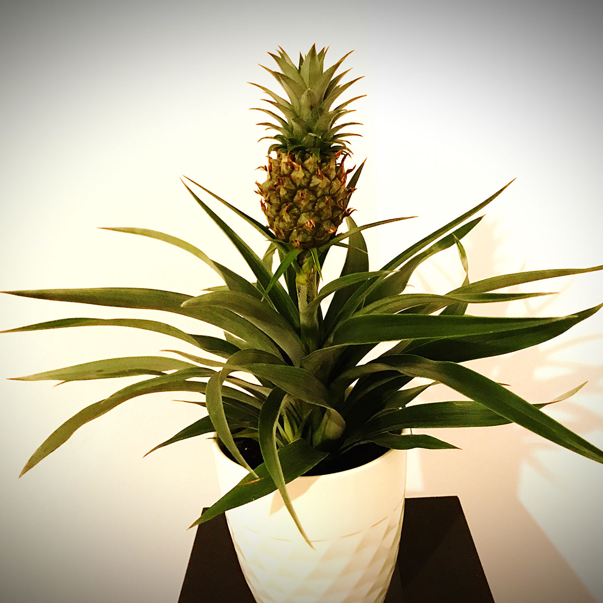 Pineapple Plant in a Pot