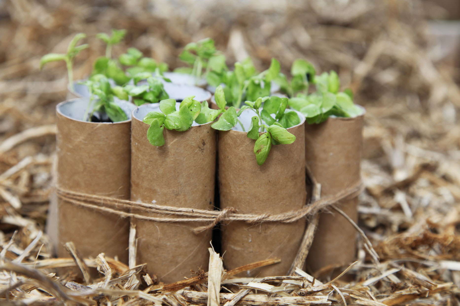 Cardboard toilet paper rolls bundled together used as seed starters