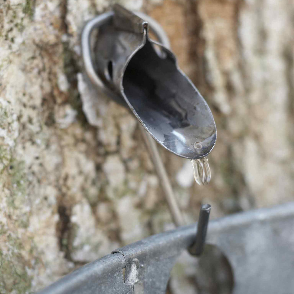 Sap dripping from tap into bucket