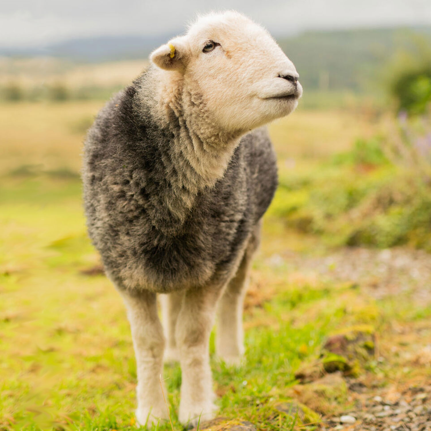 guided meditation with sheep on a farm