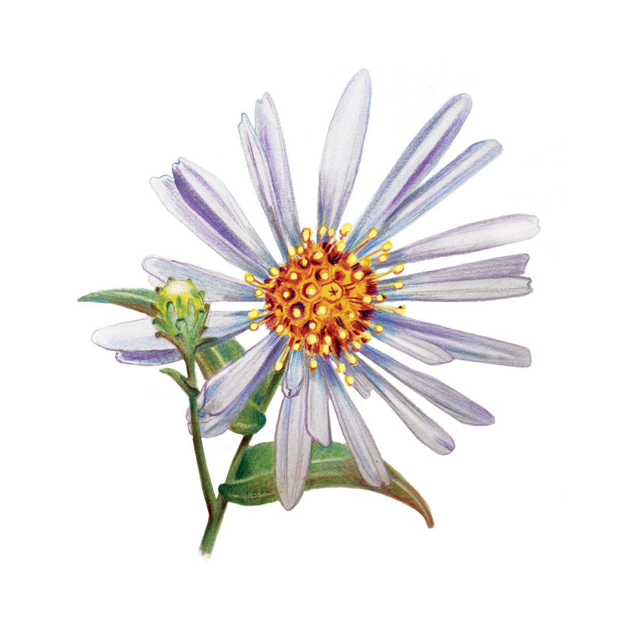 Illustration of Aster