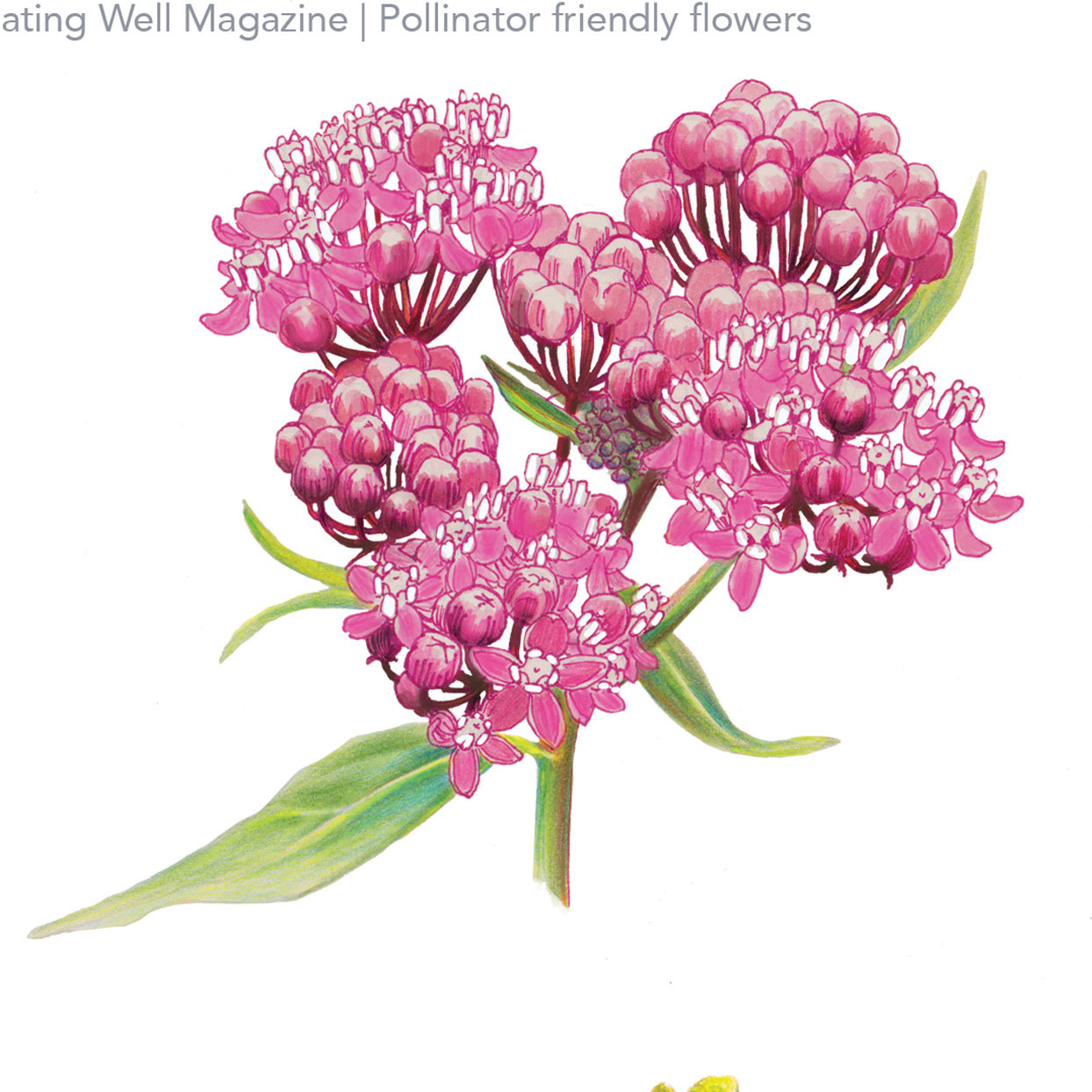 Illustration of Milkweed