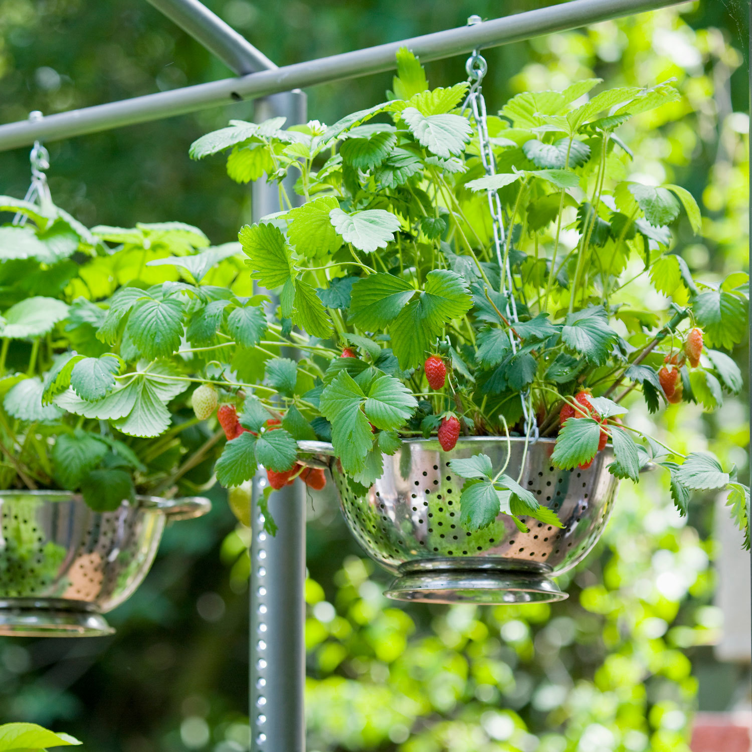 hanging basket with strawberry plant