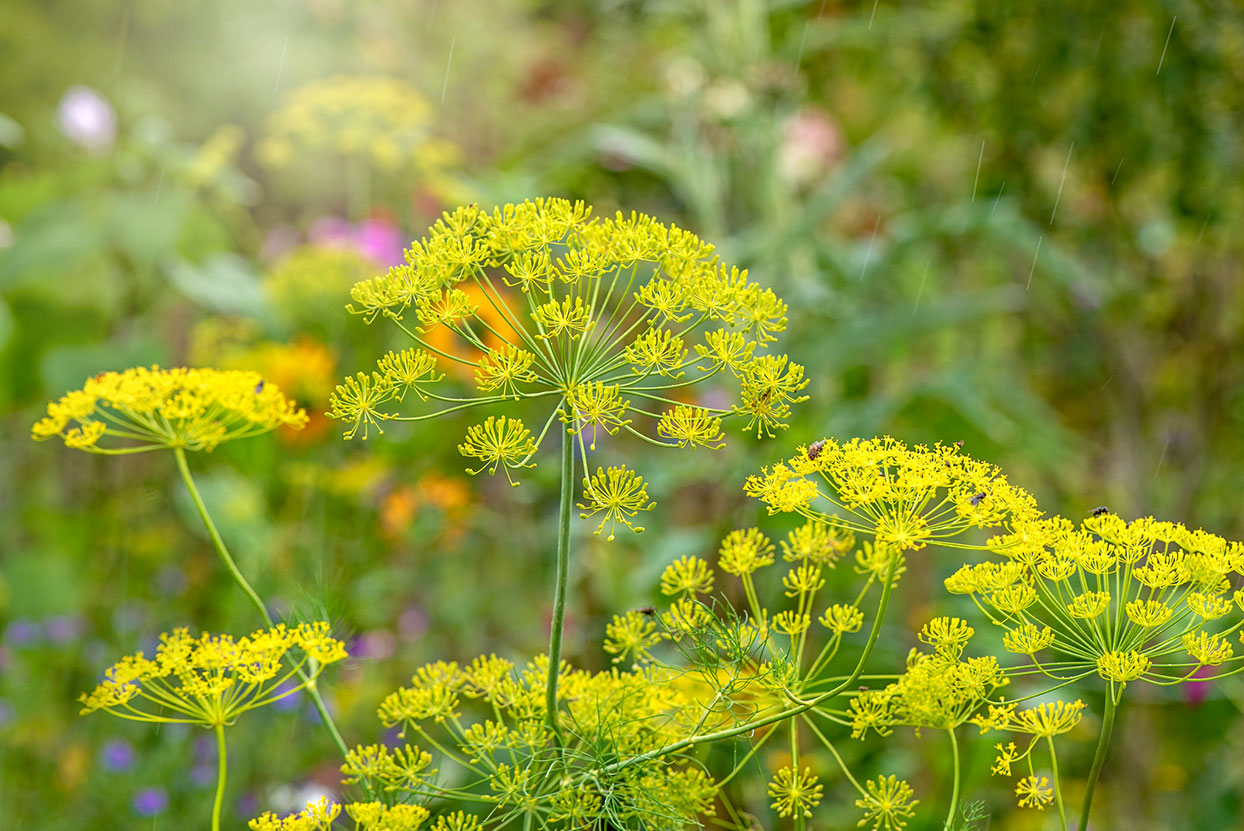 Fennel-Flowers