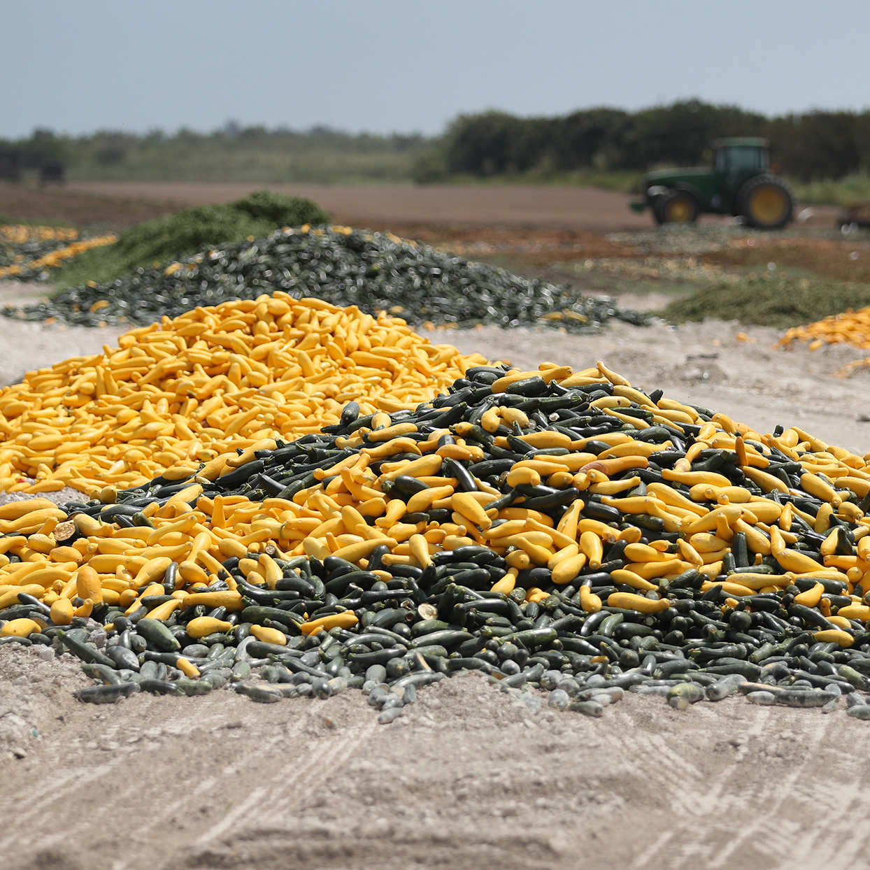 Photo of piles of squash on a farm