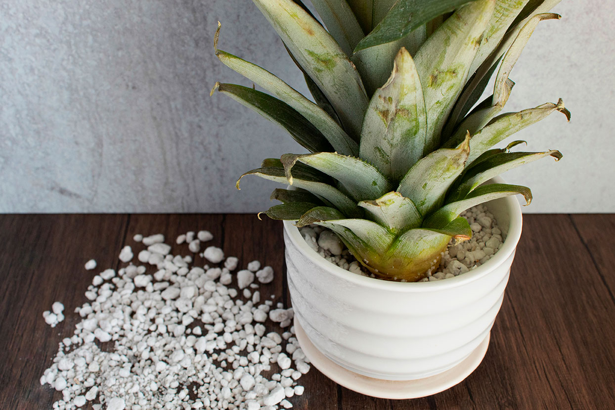 pineapple in a pot with rooting medium