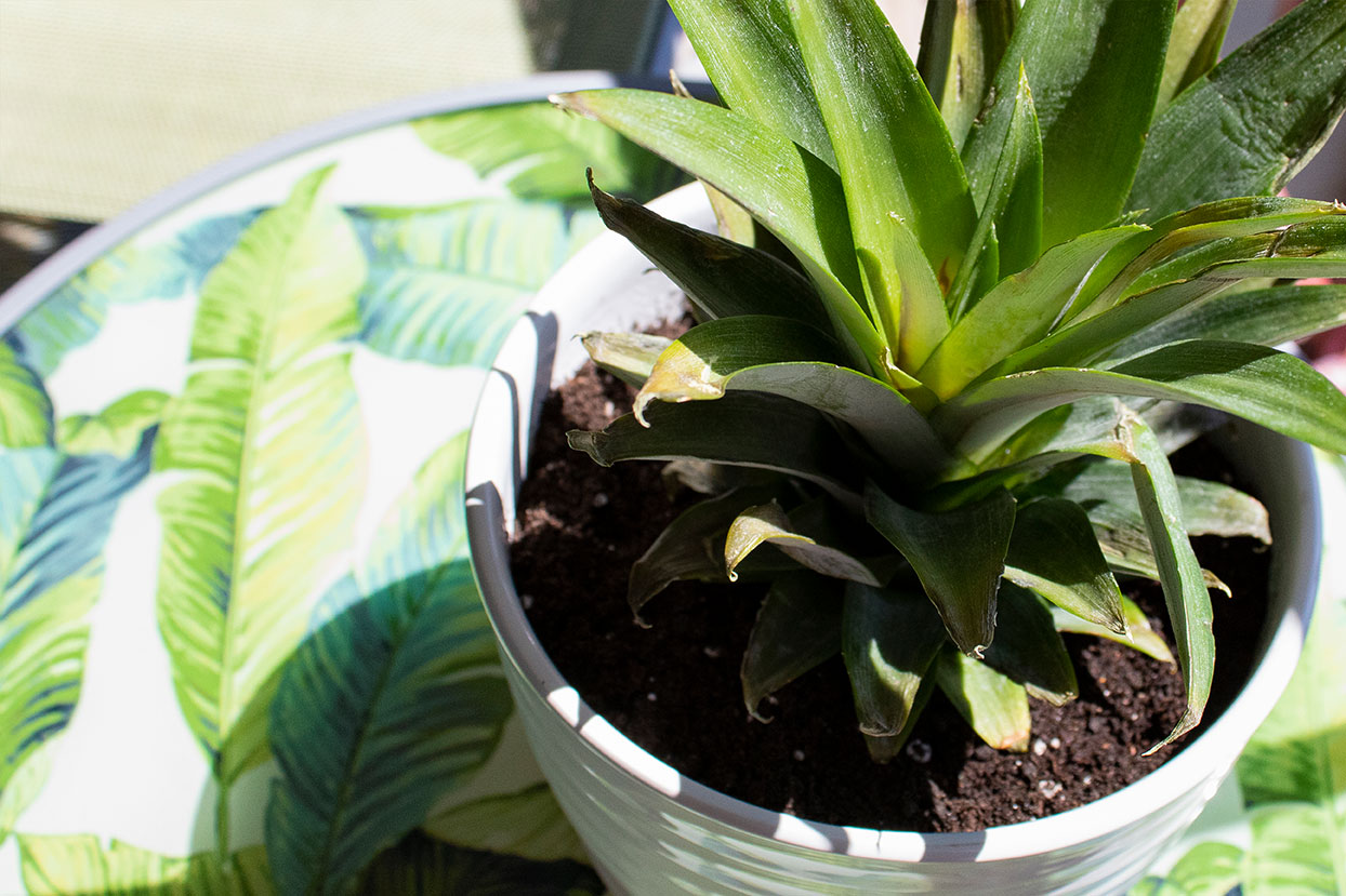 potted pineapple plant in sun